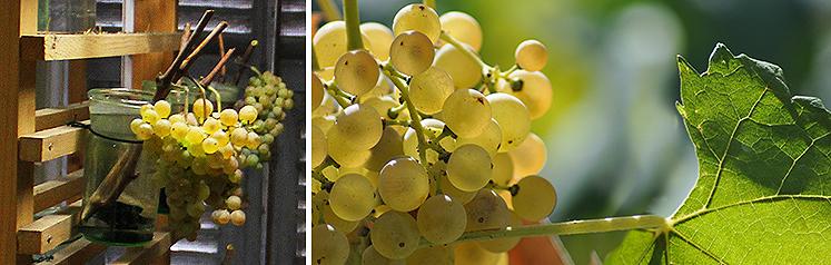 Le Servant raisin d'hiver de Valbonne
